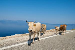Køer på hovedvejen