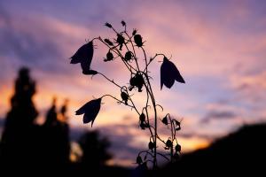 Klokkeblomst i magisk lys