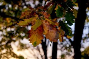 Efterårsblade i solnedgang - FUJIFILM X-T1