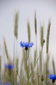 Blå kornblomst