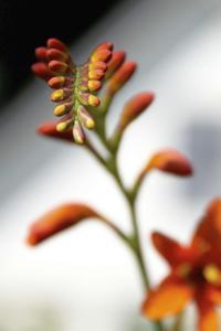 Indisk blomst