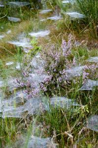 Spindelvæv i morgen lyng