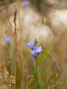 Sarte blomster