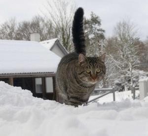 Kat i sne
