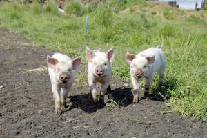 3 små grise