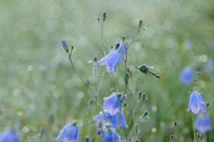 Blå klokkeblomst